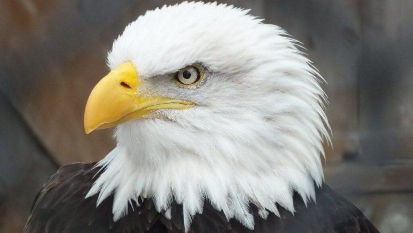 Bald Eagle - profile at the Mountsberg Raptor Centre