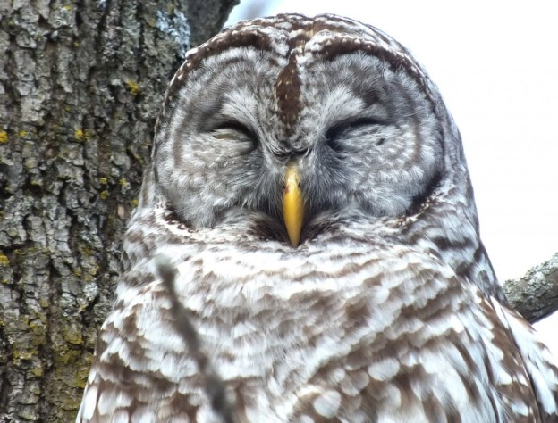 Barred Owl - catching a snooze - Cranberry West Tract - Whitby