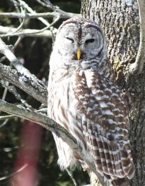 Barred Owl - gives us a look - Cranberry West Tract - Whitby