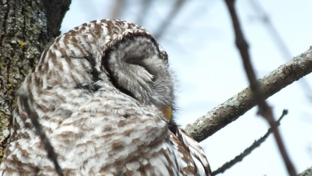 Barred Owl - side of head - Cranberry West Tract - Whitby