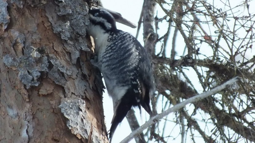 A Black-backed Woodpecker sticks its head inside a tree, on the hunt for something to eat, Algonquin Provincial Park
