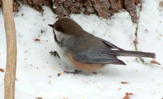 A Boreal chickadee in Algonquin Park in the winter