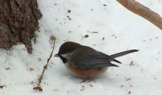 A Boreal chickadee sits on the snowy ground in Algonquin Park with snow in its peak.