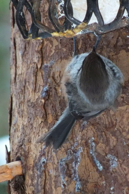 A Boreal chickadee hangs onto a suet feeder in Algonquin Park