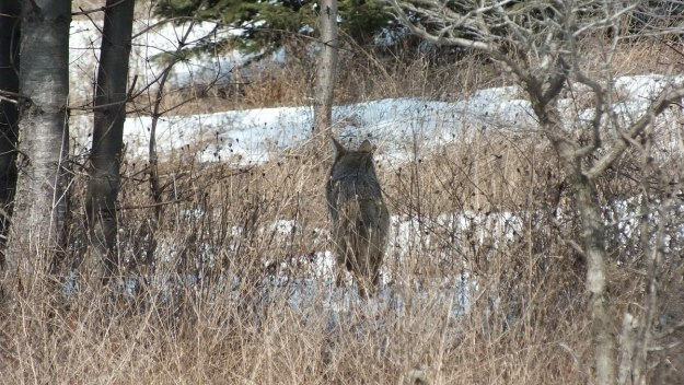 Photo of a wild Coyote's back as its moves through long grass in the Claireville Conservation Area, in Toronto - Ontario March 8, 2013