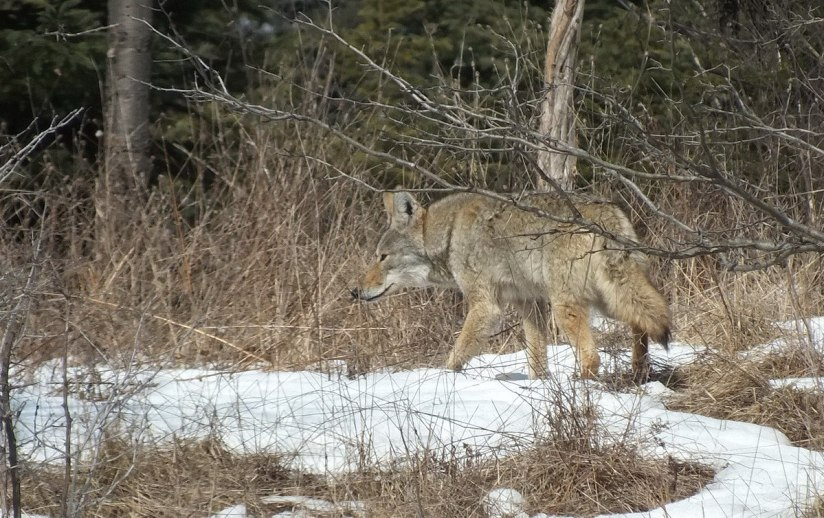 Photo of a Coyote taking a good look at something in the forest in the Claireville Conservation Area, in Toronto - Ontario March 8, 2013