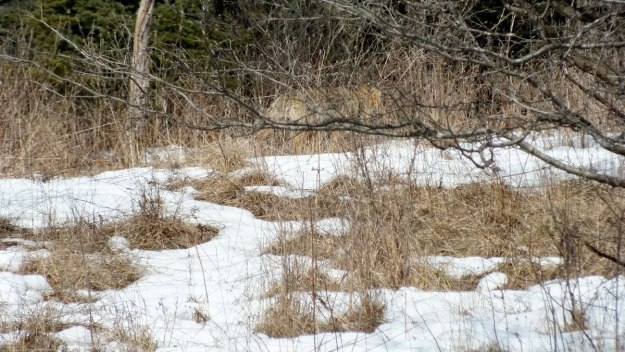 A Coyote moves slowly through snowy grass in the Claireville Conservation Area, in northwest Toronto - Ontario