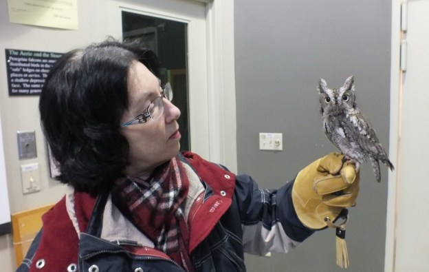 Eastern Screech owl sits on Jean's hand at Mountsberg Raptor Centre near Campbellville in Ontario, Canada