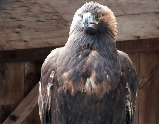 Golden Eagle at the Mountsberg Raptor Centre