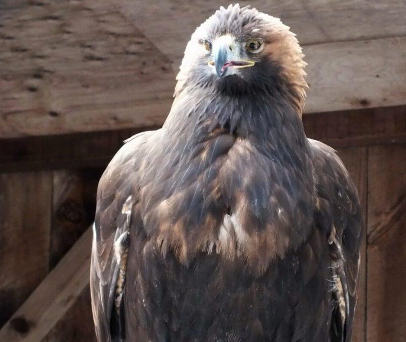 Golden Eagle at the Mountsberg Raptor Centre