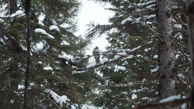 Gray Jay in tree in Algonquin Park