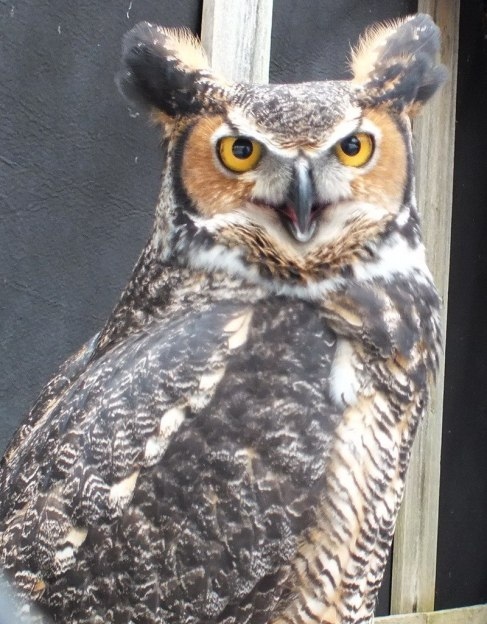 Great Horned Owl gives us a look