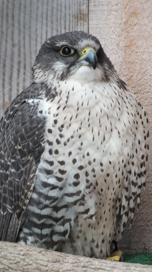 Gyrfalcon named Nahanni gives us a look at the Mountsberg Raptor Centre