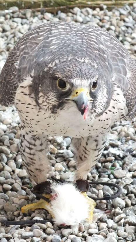 Gyrfalcon named Nahanni eats a mouse at Mountsberg Raptor Centre