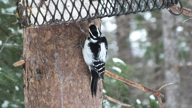 Hairy Woodpecker works away at the suet feeder on the Spruce Bog boardwalk in Algonquin Provincial Park - Ontario