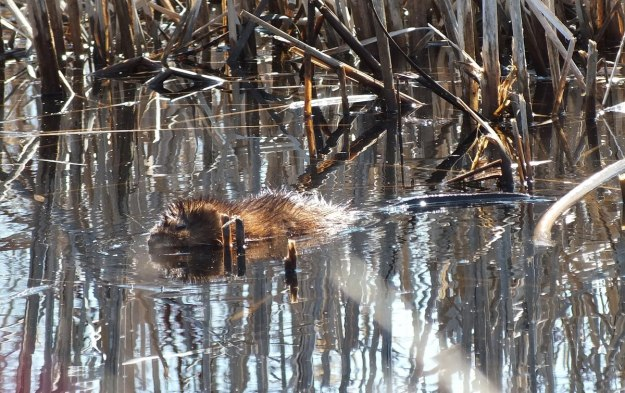 Muskrat baby swims to safety from weasel
