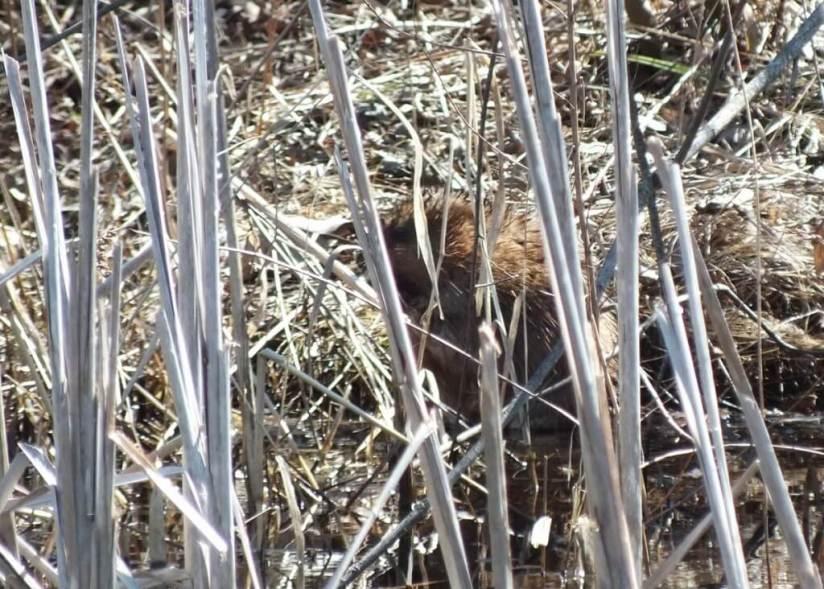 Muskrat looks for weasel - Mississauga - Ontario