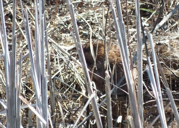 Muskrat looks for weasel - Mississauga - Ontario
