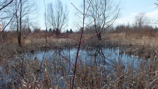 Muskrat pond in Mississauga - Ontario