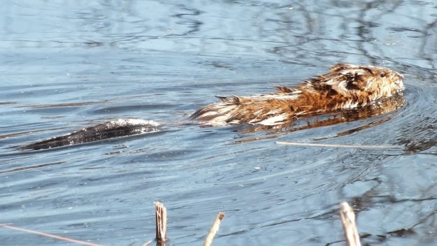 Muskrat baby swims with tail in water - Mississauga - Ontario