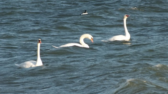 Three mute swans swimming together on lake ontario