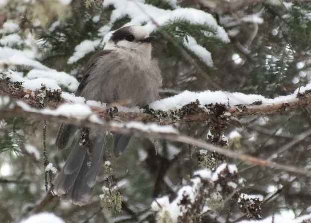 Northern Gray Jay - Algonquin Park - Ontario