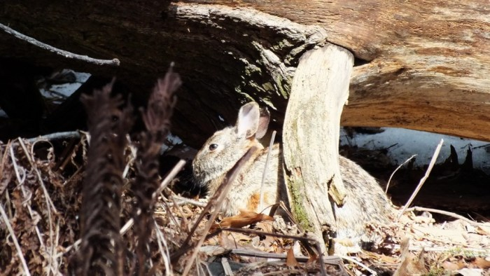 Rabbit under brush - Whitby - Ontario