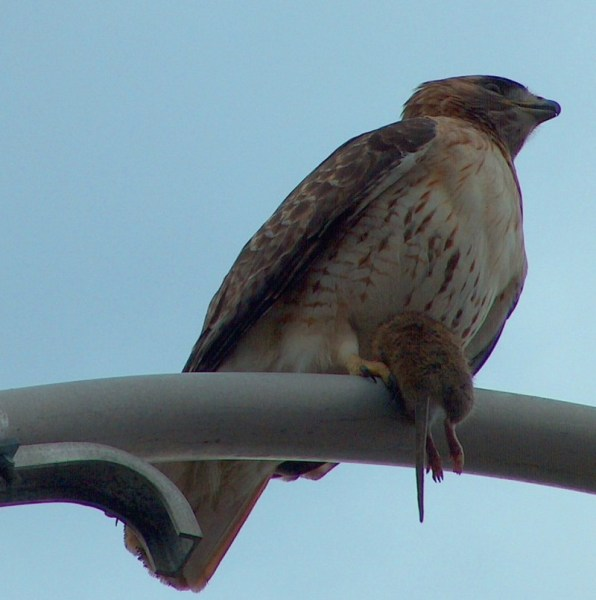 Red Tailed Hawk holding a rat in its yellow claws, sits on a light post in Toronto, Ontario