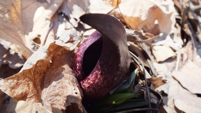 Skunk Cabbage plant growing up through fallen leaves in the spring time
