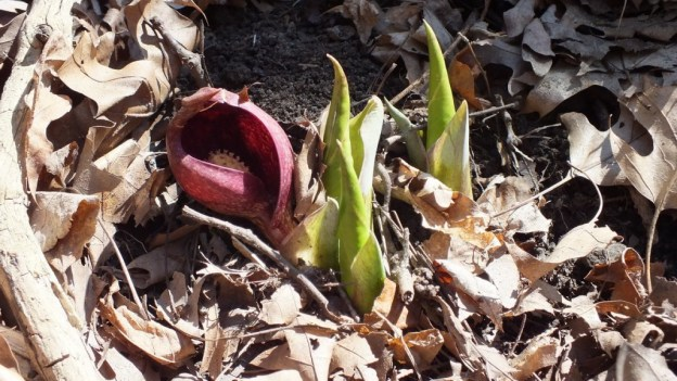 Skunk Cabbage plant among fallen leaves in Hamilton - Ontario