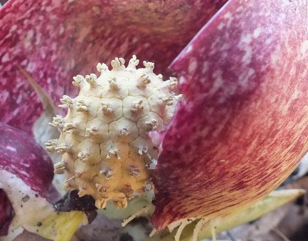 Skunk Cabbage plant - closeup of the spadix knob