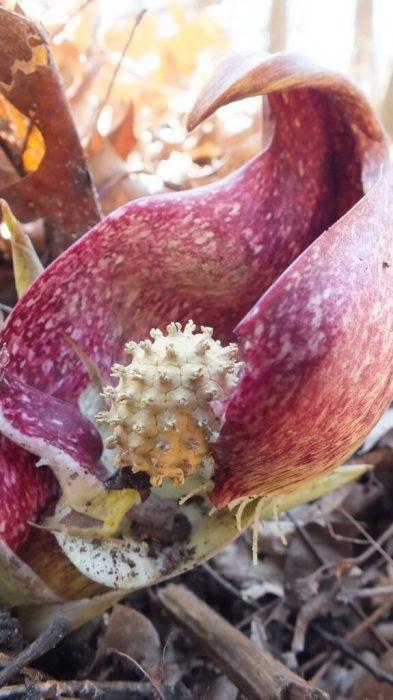 Skunk Cabbage - with spadix knob revealed - Hamilton - Ontario