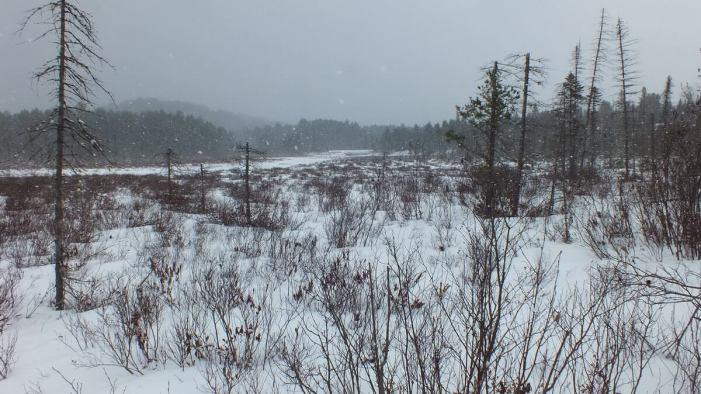 Spruce bog under snowstorm in Algonquin Provincial Park