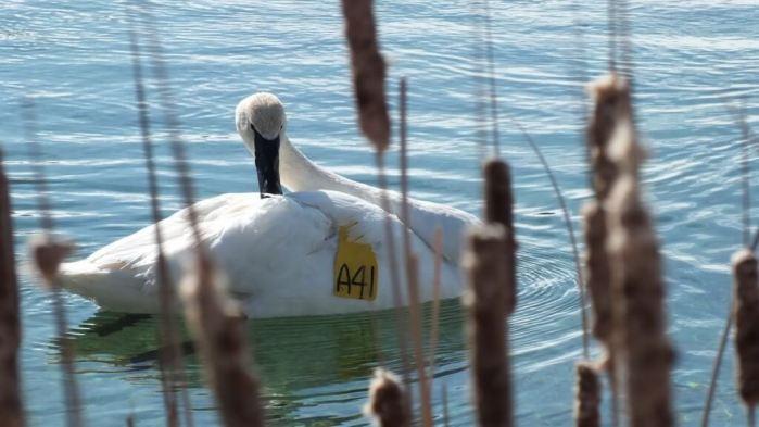 Trumpeter swan A41 - preening back - Washago beach - Ontario
