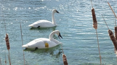 Trumpeter swans A41 and unmarked swan, swim together at Washago beach - Ontario