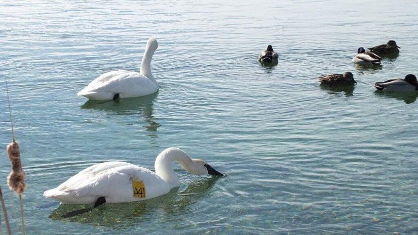Trumpeter swans at Washago beach in Ontario
