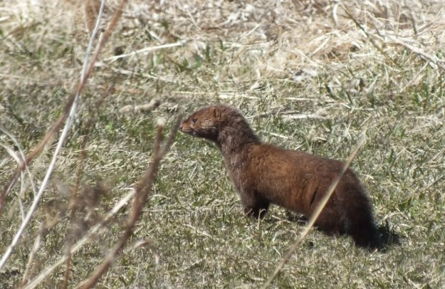 A weasel looks across a field in Mississauga - Ontario