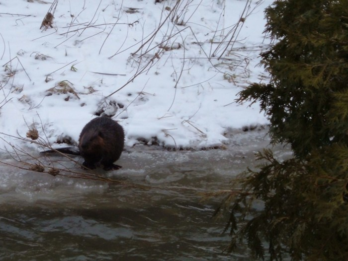 beaver eating along the Green river