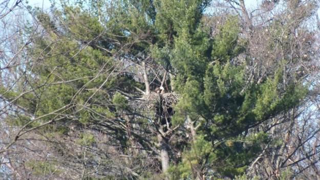 Bald Eagle nest - Cootes Paradise Marsh - Hamilton - Ontario