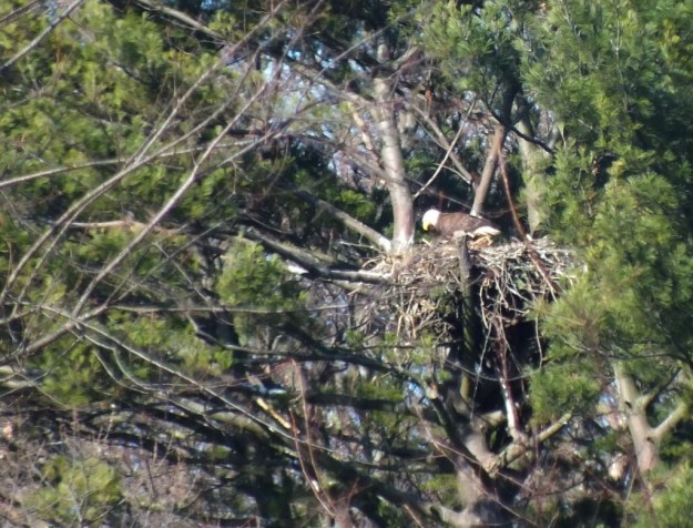 Bald Eagle on nest - Cootes Paradise Marsh - Hamilton - Ontario