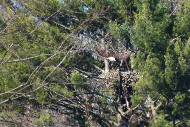 Bald Eagle returns to nest - Cootes Paradise Marsh - Hamilton - Ontario