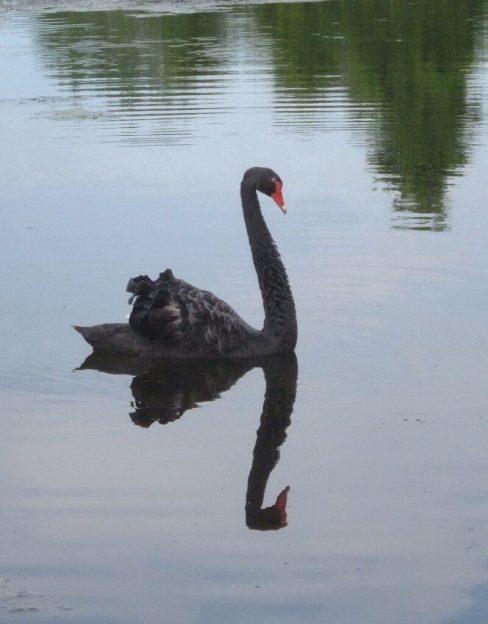 Black Swan floating on the Otonabee River - Ontario