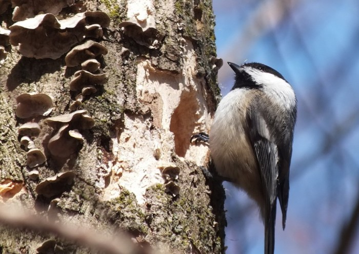 Black-capped chickadee on tree beside roosting holes - thicksons woods