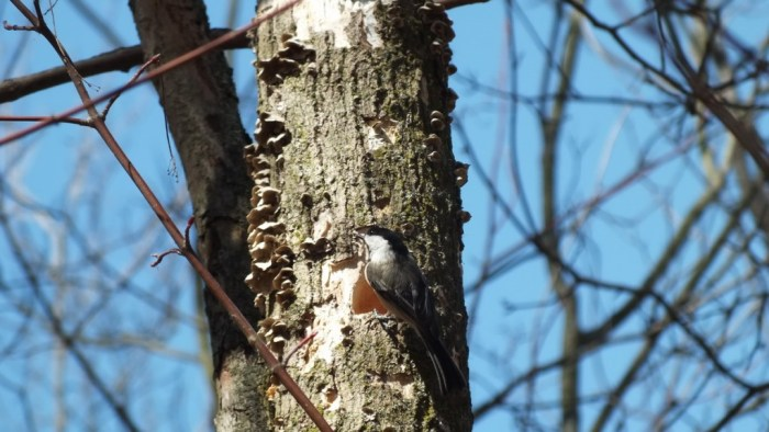 Black-capped chickadee sits on tree beside excated hole - thicksons woods