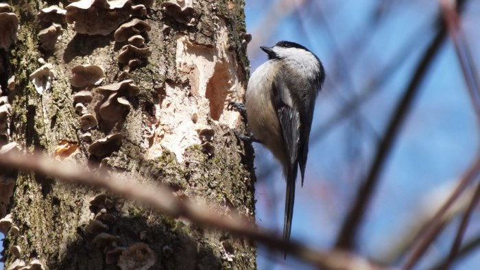 Black-capped chickadee sits on tree beside roosting holes - thicksons woods