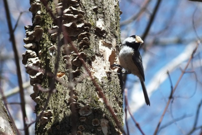 Black-capped chickadee with peak full of woodchips - thicksons woods