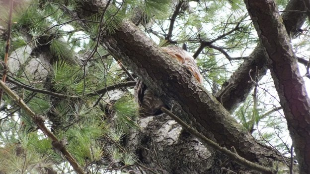 Great Horned Owl father sits in pine tree - camera point of view looking up - Thicksons Woods - Whitby - Ontario