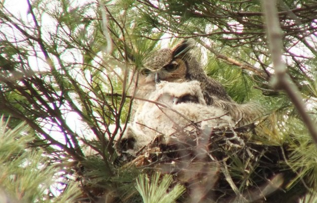 Great Horned Owl looks towards me - Thicksons Woods - Whitby - Ontario
