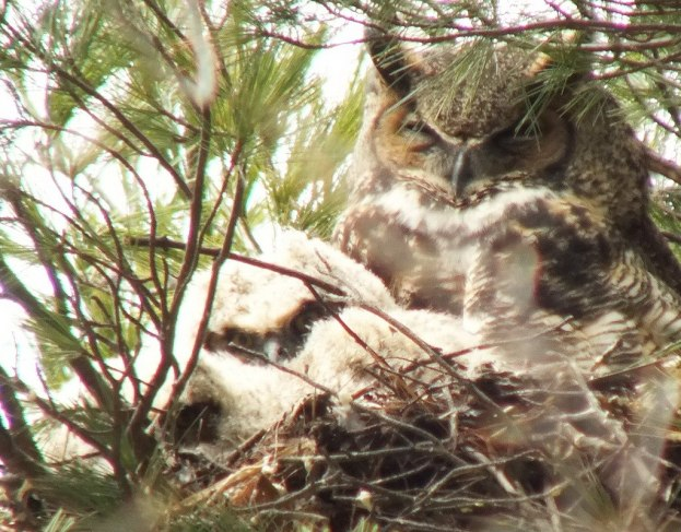 Great Horned Owl mom with two chicks - Thicksons Woods - Whitby - Ontario