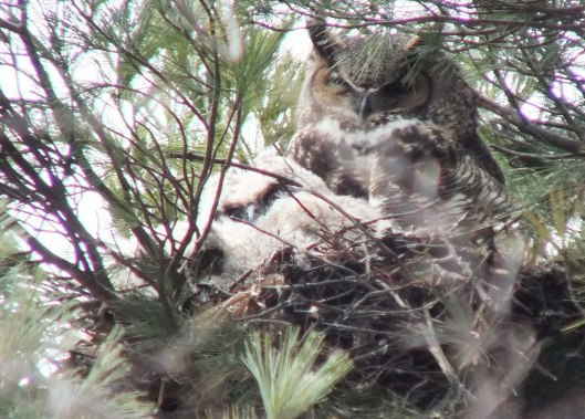 Great Horned Owl mom with two chicks in nest - Thicksons Woods - Whitby - Ontario
